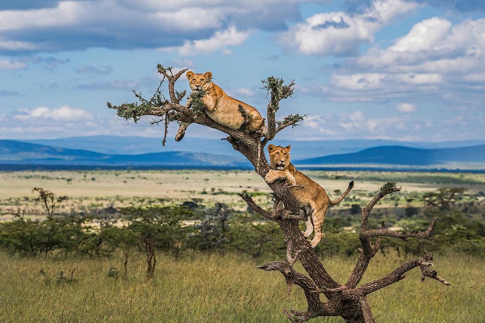 Lion on The Tree.jpg