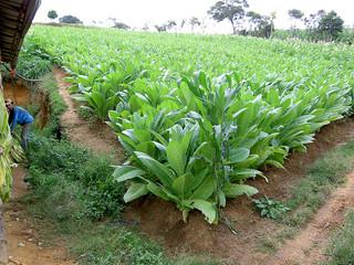 Los inesperados beneficios de sustituir plantaciones de tabaco por granjas solares