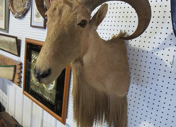 "Vintage Aoudad ""Barbary Sheep"" Mount"
