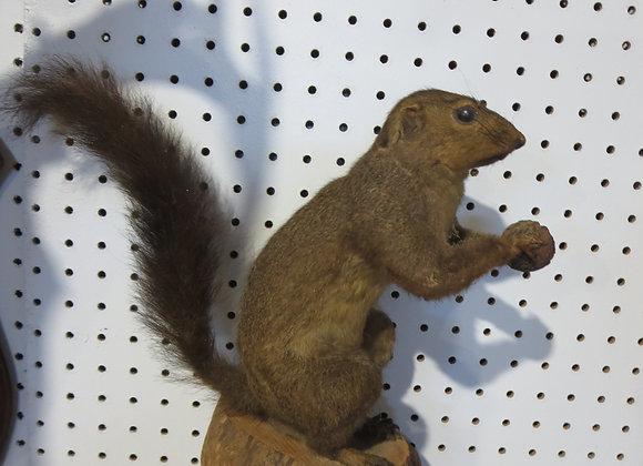 Vintage Mount Squirrel Holding Nut