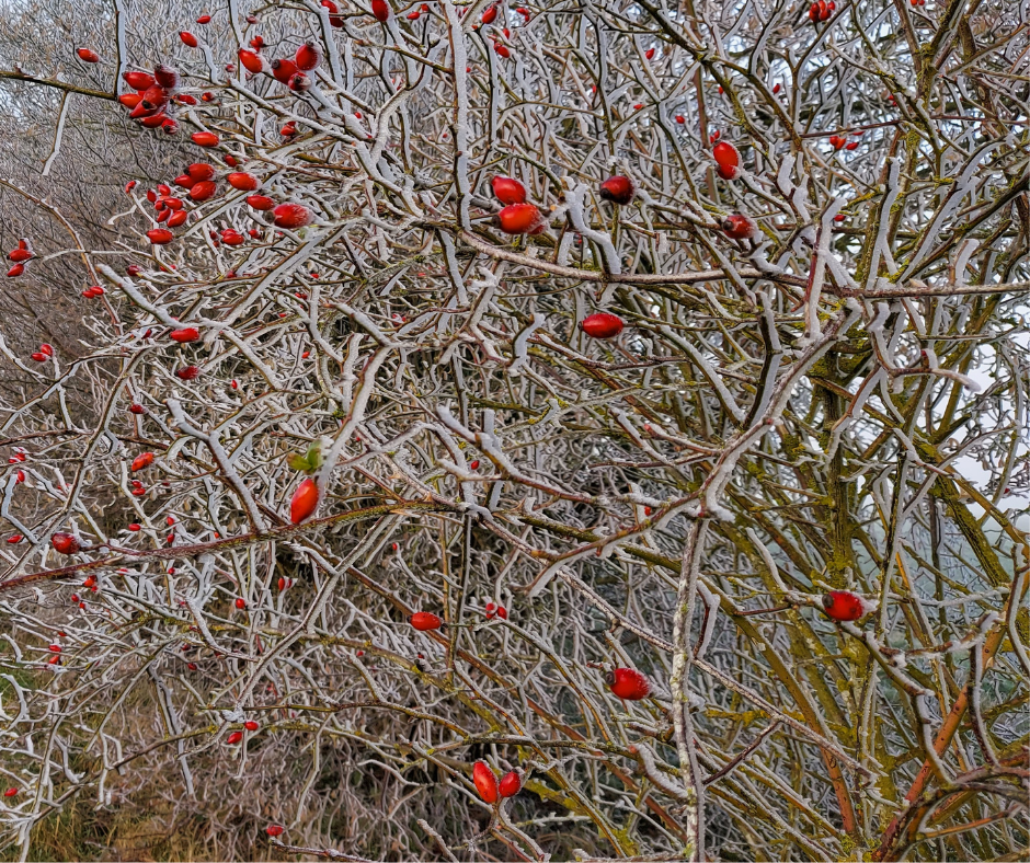 Photo of a bare tree in winter, with some bright red berries on it. Signifying the beauty of winter