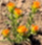 NoS desert flower.jpg