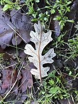 NoS fall leaf.jpg