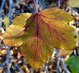 NoS leaf.jpg