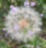 NoS dandelion.JPG