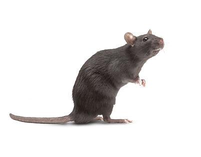 Rat muizen vangen verjagen in Zeeland -