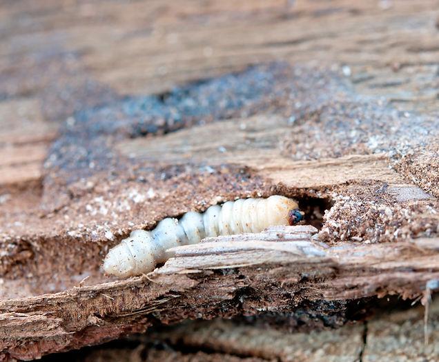 1. Houtworm - Zuid West Prevent Zeeland.