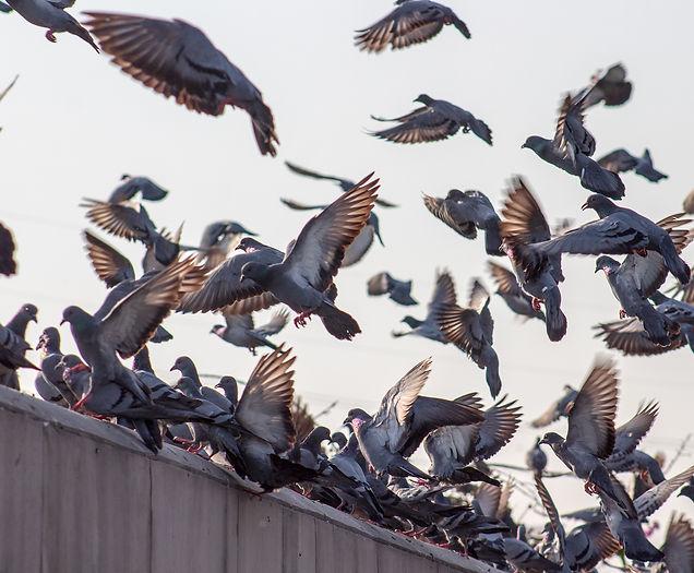 8. Duiven vogel wering verwijderen - Zui