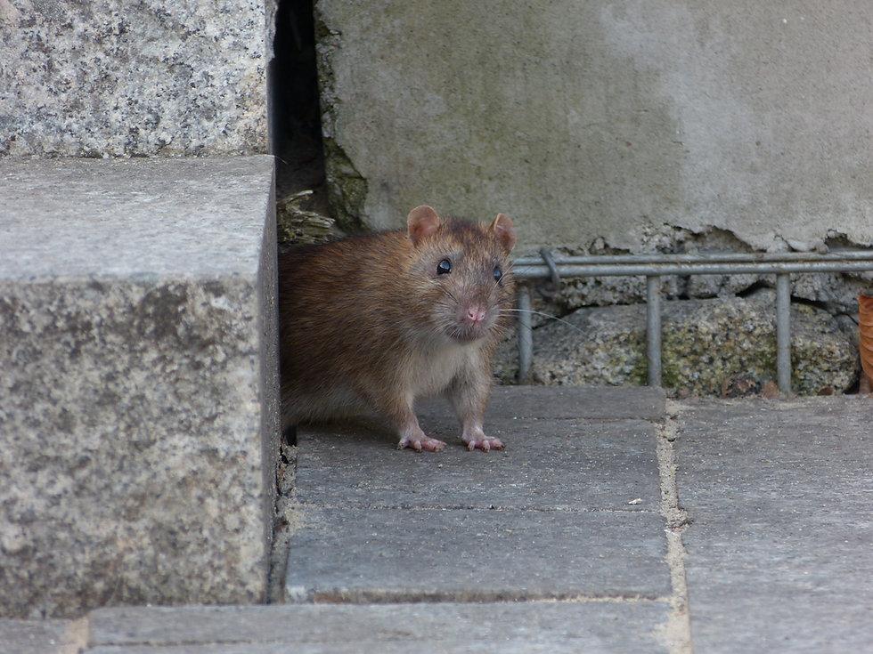 9. muis ratten vangen en verjagen - Zuid