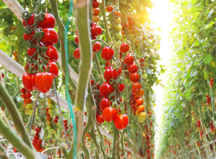 fotografie tomaten - Klopper Media_edite