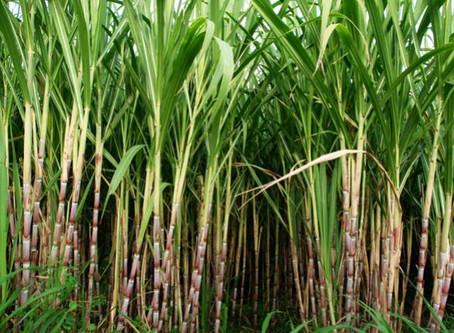 Cana de açúcar : muitas viagens antes de virar cachaça