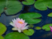 Pink water lily on lilypads in a pond wa
