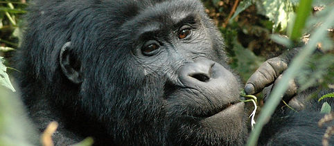 GorillaOrg-MountainGorilla-Gorillas-1200