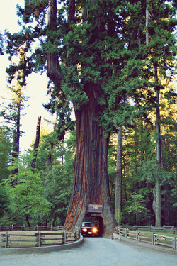 | REDWOOD FOREST, CA |