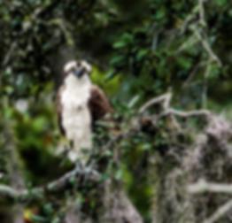 Osprey in Guana Craig O'Neal