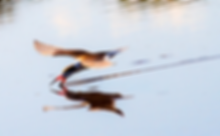 Black skimmer is species of special concern at Guana