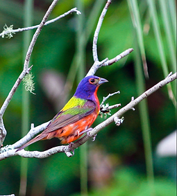 painted bunting in Guana