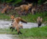 Fox family in Guana