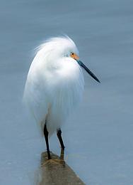 Snowy egret in Guana