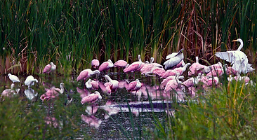 Pink spoonbills in Guana Species of Special Concern