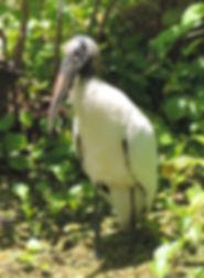 Threatened wood stork in Guana