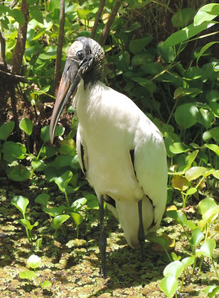 Threatened wood stork in Guana