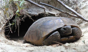 Threatened gopher tortoise in Guana