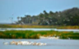 outpost pelicans straightened.jpg