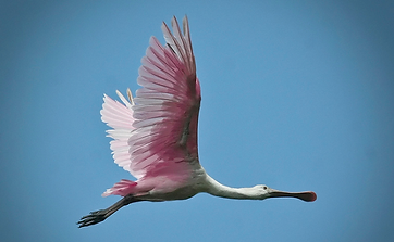 Guana is migration point for roseate spoonbills