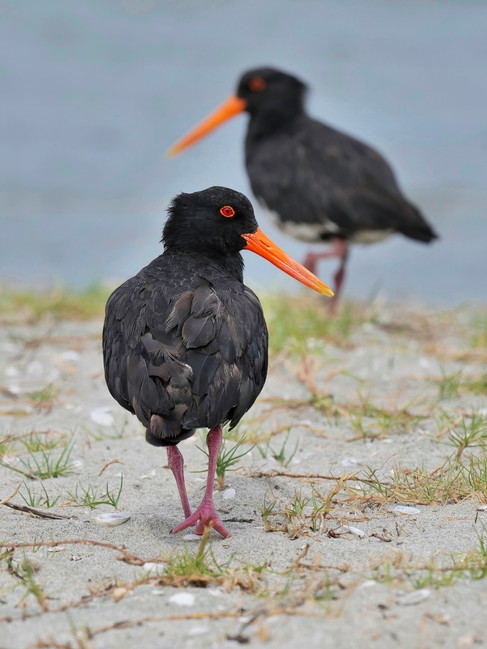 Variable Oystercatchers at Mangawhai Heads by Lorraine Neill