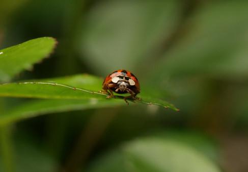 Ladybug Kaylene Helliwell
