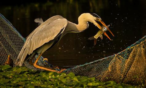The Catch by Antony Joseph