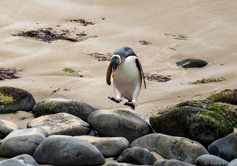 Yellow eyed Penguin by Terry Harkin