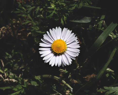 The common field daisy by Lachlan Morris
