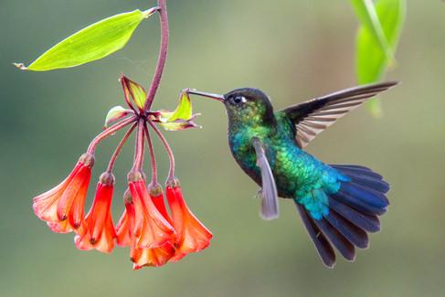 Hummingbird Costa Rica by Brenda Pinfold