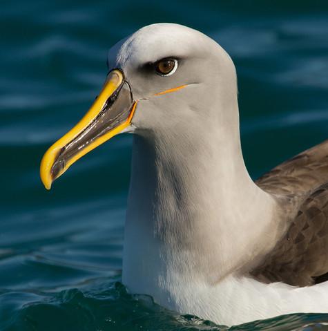 Bullers Albatross by Teresa Angell