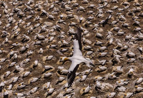 Gannets by Nikolay Kabzamalov