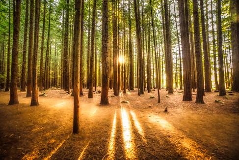 Sun rays in the Redwoods by Stewart Watson