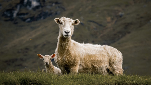 A Baby Sheep Love Story - Part 1 by Melyssa Forget-Turcotte