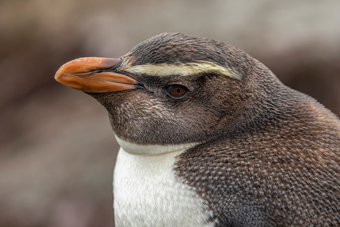 Fiordland Crested Penguin by Kim Free