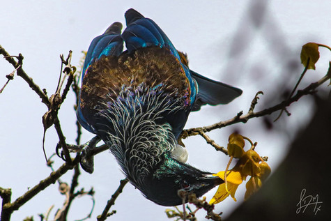 Tui by Lachlan Morris