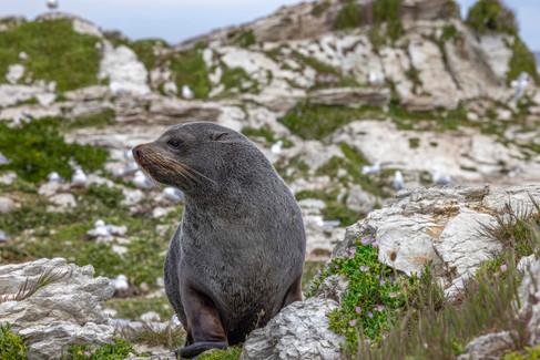 NZ Fur Seal by Kim Free