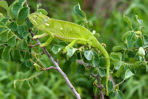 Chameleon by Gary Reid