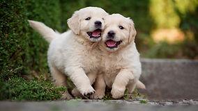 golden-retriever-little-puppies-cute-lit