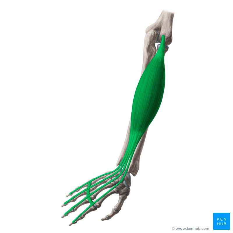 https://www.kenhub.com/en/library/anatomy/extensor-digitorum-muscle