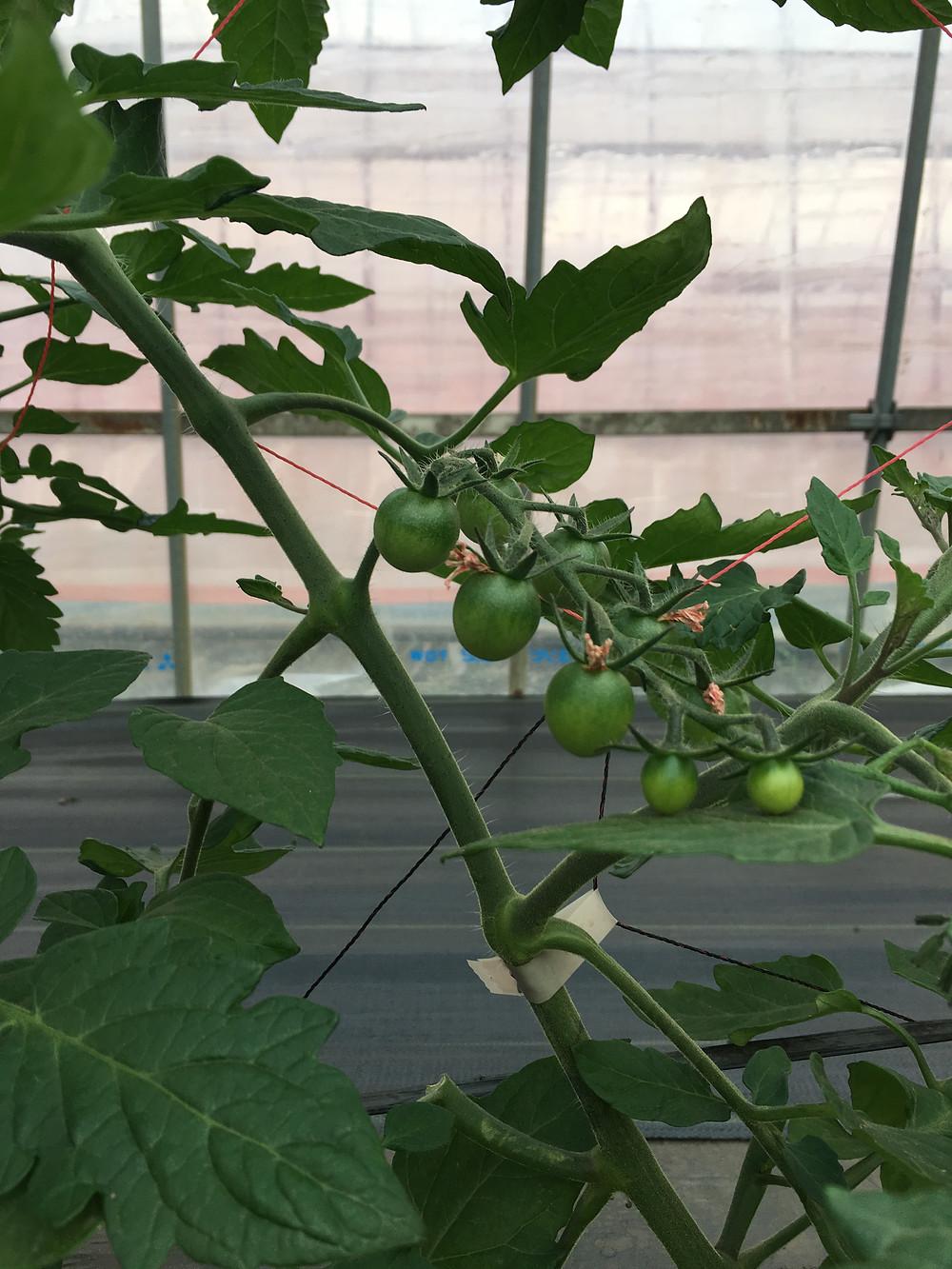 成長中のミニトマト