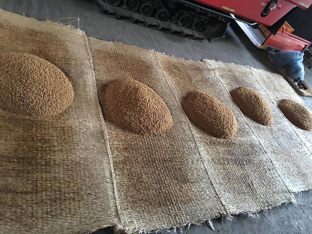 混ぜられて山になった種籾の様子