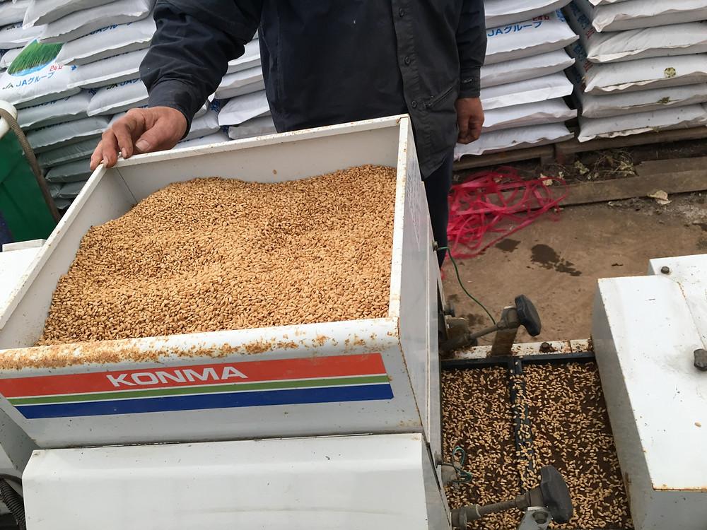 培土の上に種籾を播いている様子