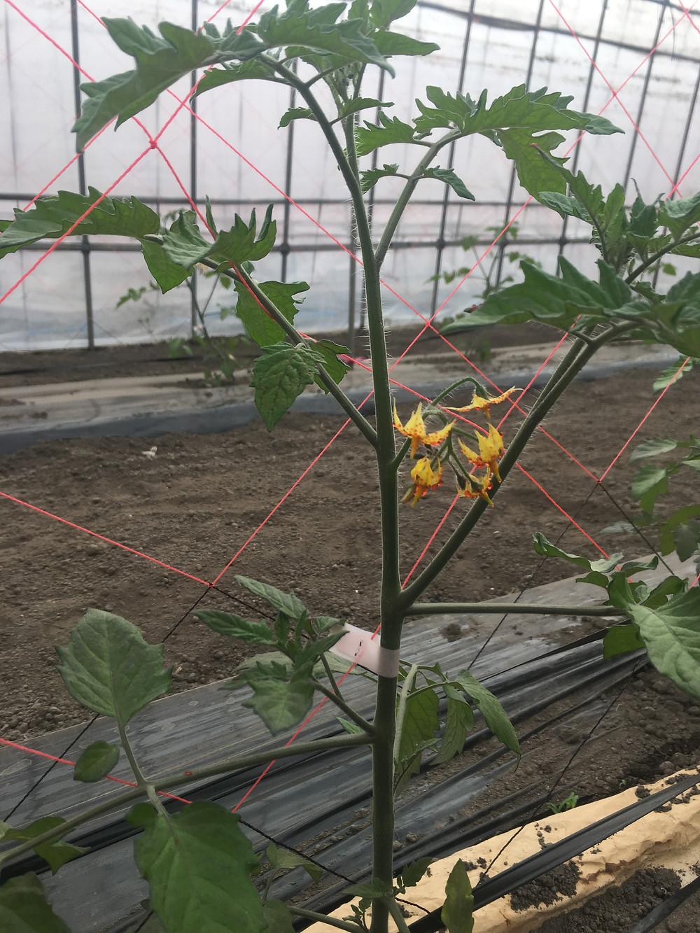 トマトトーンをつけたミニトマトの花