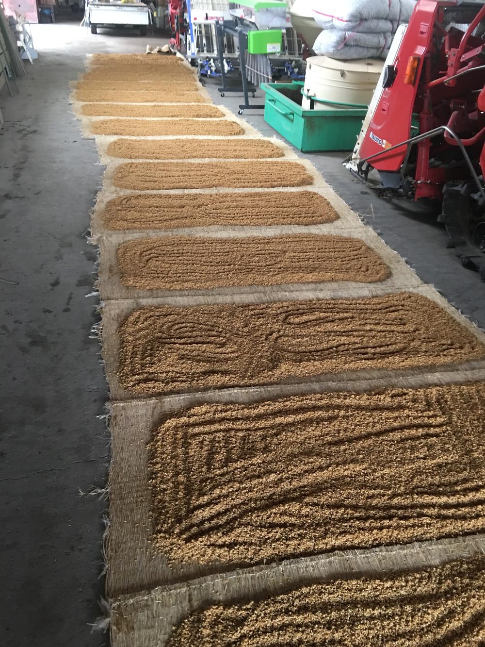 種籾を乾燥させている様子(その2)